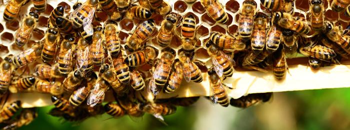 honey-bees-401238