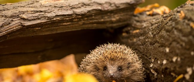 Scared hedgehog on bonfire night Title Sussex Magazine www.titlesussex.co.uk