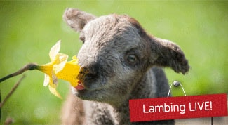 Fishers Farm lambing Title Sussex Magazine www.titlesussex.co.uk